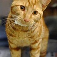 Adopt A Pet :: Carrots - LaGrange Park, IL