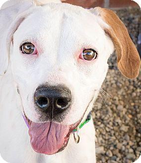 Boxer/Labrador Retriever Mix Dog for adoption in Cincinnati, Ohio - Charo