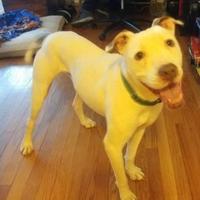 American Pit Bull Terrier/American Bulldog Mix Dog for adoption in Oak Park, Illinois - Vero