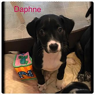 Brittany/Border Collie Mix Puppy for adoption in Walton, Kentucky - CO/Daphne