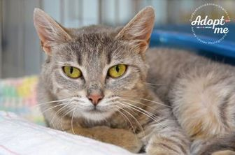 Domestic Shorthair/Domestic Shorthair Mix Cat for adoption in Cooperstown, New York - Gaia
