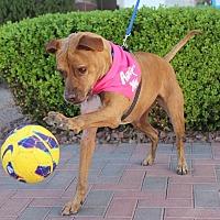 Adopt A Pet :: SUGAR - Las Vegas, NV