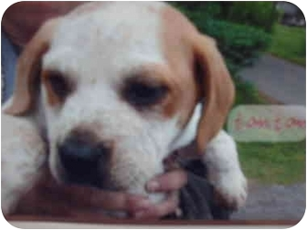 Beagle/Boxer Mix Puppy for adoption in Muskogee, Oklahoma - TomTom