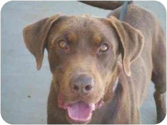 Labrador Retriever Dog for adoption in Derry, New Hampshire - Trooper