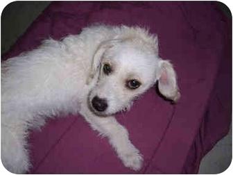 Westie, West Highland White Terrier/Wirehaired Fox Terrier Mix Puppy for adoption in San Dimas, California - Westin