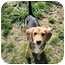 Photo 1 - Beagle Mix Puppy for adoption in Mahwah, New Jersey - Hunt