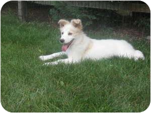 Collie/Golden Retriever Mix Puppy for adoption in Marlton, New Jersey - Lashes