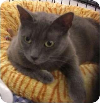 Russian Blue Cat for adoption in Chesapeake, Virginia - Annalise