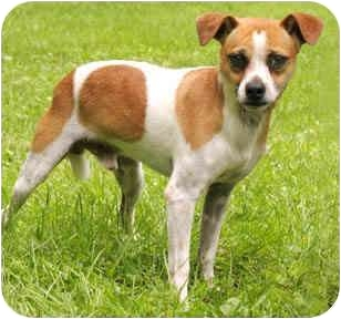 Chihuahua/Rat Terrier Mix Dog for adoption in Chicago, Illinois - Spunky