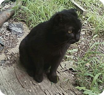 Domestic Shorthair Cat for adoption in Acme, Pennsylvania - Ezekiel