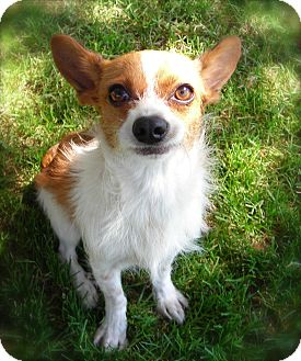 Jack Russell Terrier Mix Dog for adoption in El Cajon, California - Rusty