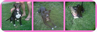 American Pit Bull Terrier Mix Dog for adoption in Scottsdale, Arizona - Vegas