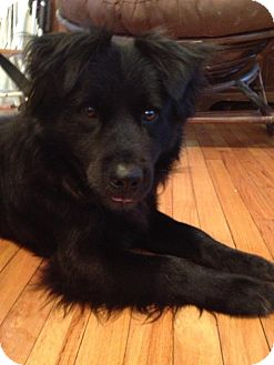 Chow Chow/Labrador Retriever Mix Dog for adoption in Shirley, New York - KING