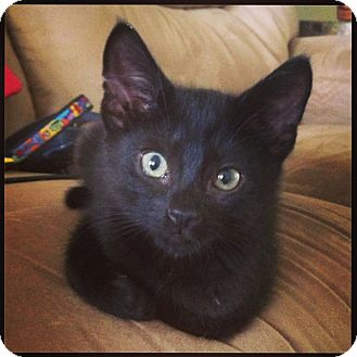 Domestic Shorthair Kitten for adoption in Knoxville, Tennessee - Panther