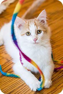 Domestic Mediumhair Kitten for adoption in Chicago, Illinois - Flan