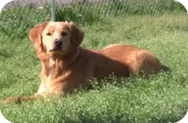 Golden Retriever Dog for adoption in New Canaan, Connecticut - Cadbury