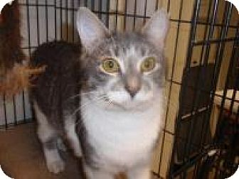 Domestic Shorthair Cat for adoption in East Brunswick, New Jersey - Angelica