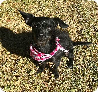 Terrier (Unknown Type, Small) Mix Dog for adoption in El Cajon, California - Sookie