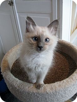 Siamese Kitten for adoption in Columbus, Ohio - Baby Taylor