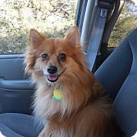 Adopt A Pet :: Tom the Pom - Shawnee Mission, KS