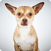 Adopt A Pet :: Papi - New York, NY