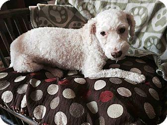 Poodle (Miniature) Mix Dog for adoption in Mesa, Arizona - WEBER 3 YR POODLE ADOPT NOW
