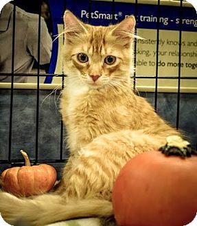 Domestic Mediumhair Kitten for adoption in Gainesville, Florida - Fritz
