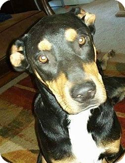 Shepherd (Unknown Type) Mix Dog for adoption in Memphis, Tennessee - SweetChuck- Courtesy Listing
