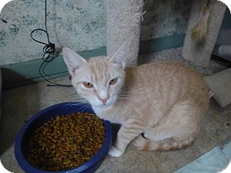 Domestic Shorthair Cat for adoption in Manchester, Connecticut - Kulla