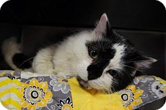 Domestic Longhair Cat for adoption in New Milford, Connecticut - Cosmo- Come see me at Petco!
