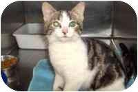 Domestic Shorthair Kitten for adoption in Ephrata, Pennsylvania - Bowan