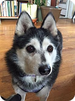 Siberian Husky/Spitz (Unknown Type, Small) Mix Dog for adoption in Denver, Colorado - Miki