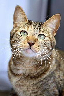 Domestic Shorthair Cat for adoption in Mission Viejo, California - Raine