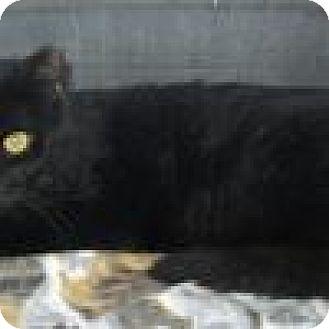 Domestic Shorthair Cat for adoption in Powell, Ohio - Zorro