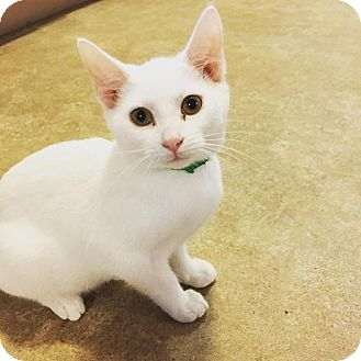Domestic Shorthair Kitten for adoption in Hanna City, Illinois - Wendy