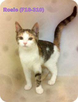 American Shorthair Kitten for adoption in Tiffin, Ohio - Rosie