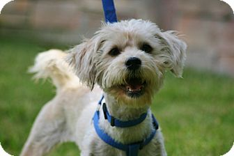 Maltese/Poodle (Standard) Mix Dog for adoption in Carlsbad, California - Rocky B