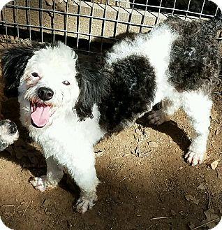 Toy Poodle Dog for adoption in Hurst, Texas - Diamond