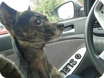 Chihuahua Mix Dog for adoption in Allen, Texas - Rocko