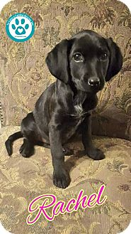 Spaniel (Unknown Type) Mix Puppy for adoption in Kimberton, Pennsylvania - Rachel