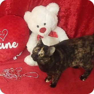 Domestic Shorthair Cat for adoption in Arlington/Ft Worth, Texas - Annie