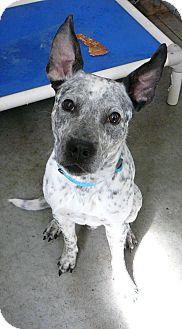 Blue Heeler Mix Dog for adoption in New Plymouth, Idaho - RIKO