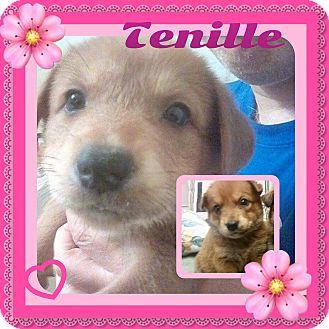 Shiba Inu Mix Puppy for adoption in siler city, North Carolina - Tenille