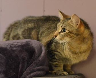 Domestic Shorthair/Domestic Shorthair Mix Cat for adoption in Madison, Wisconsin - Celine