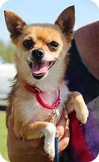 Chihuahua Mix Dog for adoption in Grass Valley, California - Little Bit- must be adopted with Minnie