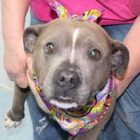 American Pit Bull Terrier Mix Dog for adoption in Robinson, Illinois - Dana