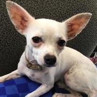 Adopt A Pet :: Snoopy - Visalia, CA