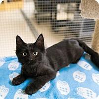 Domestic Mediumhair Kitten for adoption in Seville, Ohio - Buck