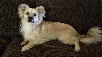 Pomeranian Mix Dog for adoption in Hagerstown, Maryland - Kota (CNC)