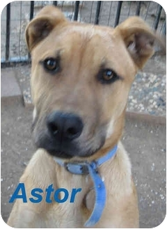 Labrador Retriever/Shepherd (Unknown Type) Mix Puppy for adoption in Poway, California - Astor
